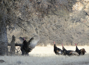 Hunting_Turkey1