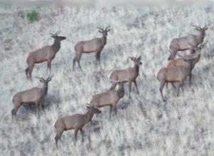 Hunting_elk1